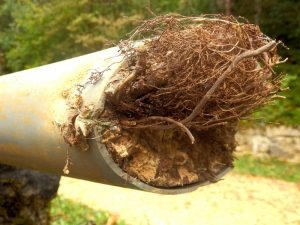 roots-in-pipe